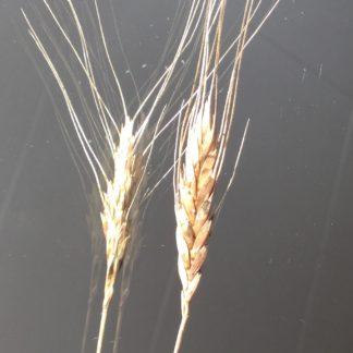 Einkorn hvete